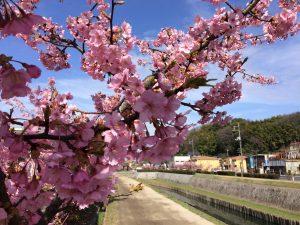 河津桜としだれ梅