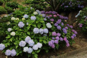 種松山の紫陽花 in   2018