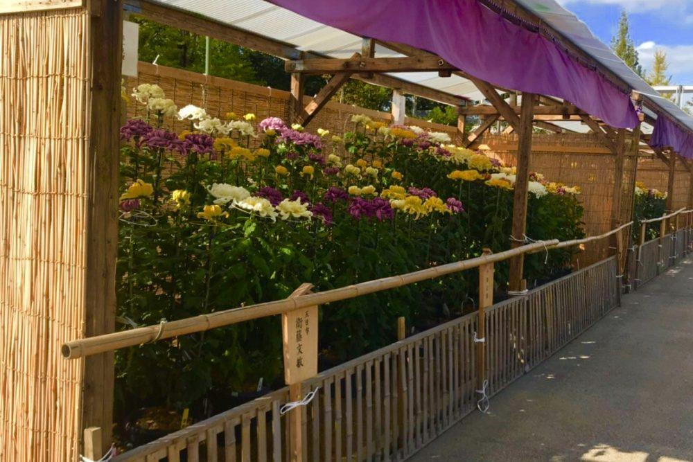 第50回 倉敷市菊花展の写真1