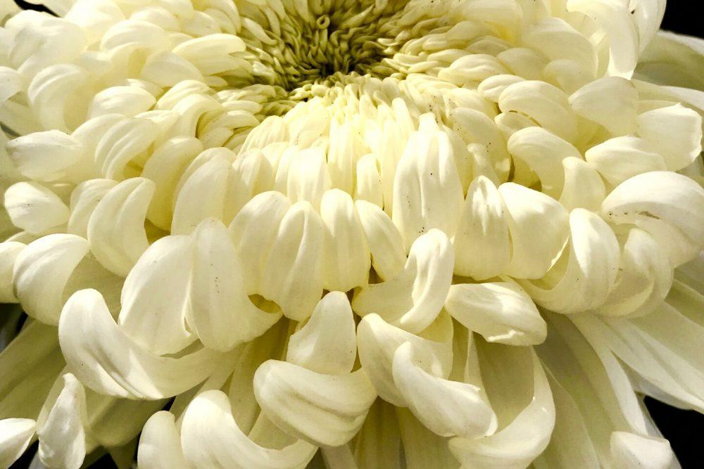 第50回 倉敷市菊花展の写真2