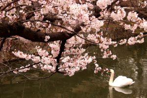 美観地区倉敷川沿いの桜♪