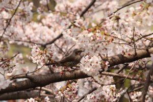 満開の桜散策 & 倉敷まちや寄席