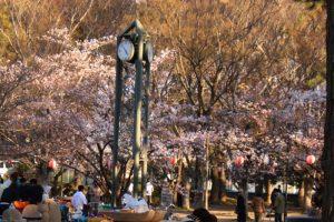 酒津公園の桜  in  2019