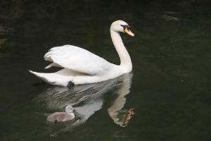 白鳥の赤ちゃんが生まれています♪ & 丸五の地下足袋