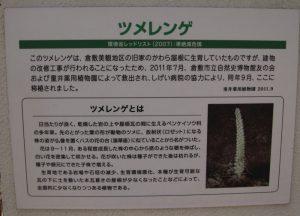 おかやまの植物 ツメレンゲ