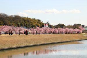 倉敷川千本桜 & 倉敷市グラウンド・ゴルフ場
