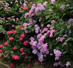 児島紫陽花の壁