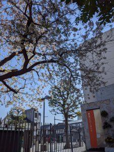 今年もヒマラヤ桜がきれいに咲きました。