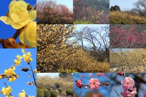 種松山の蝋梅・紅梅が見頃です。