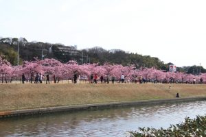 2021年度 満開の倉敷川千本桜