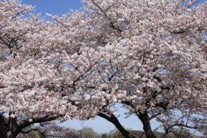 種松山のさくら・🌸・桜  in  2021