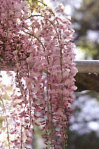 阿智神社の「阿知の藤」が見頃です♪