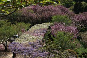 種松山の藤の花 in 2021