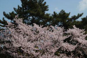 鷲羽山 の さくら・桜  in  2021