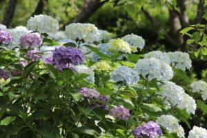 種松山の紫陽花 in 2021